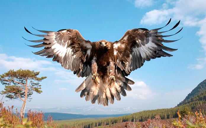 Animales en peligro de extinción en España - Águila Imperial Ibérica