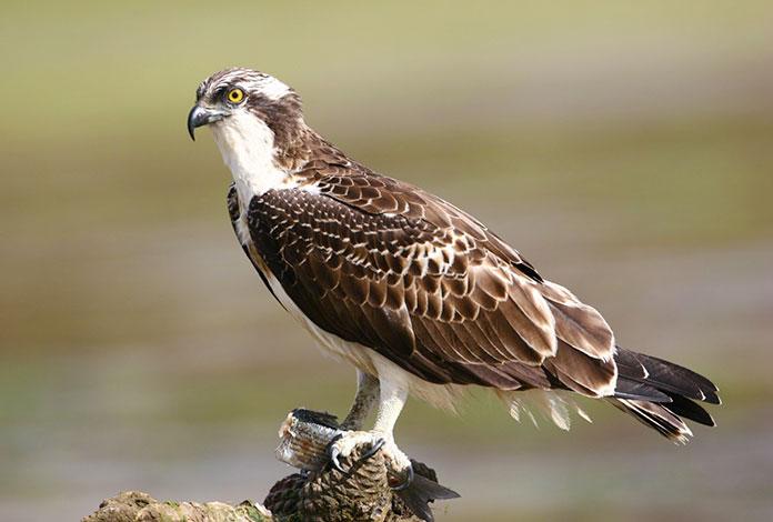 Animales en peligro de extinción en España - Águila Pescadora (Pandion Haliaetus)