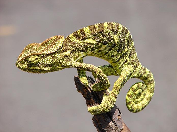 Animales en peligro de extinción en España - Camaleón Común (Chamaeleo Chamaeleon)