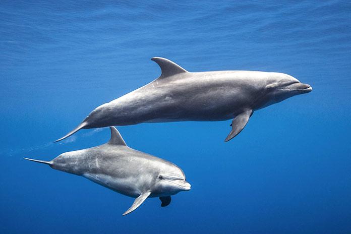 Animales en peligro de extinción en España - Delfín Mular (Tursiops Truncatus)