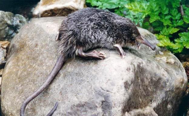 Animales en peligro de extinción en España - Desmán Ibérico (Galemys Pyrenaicus)