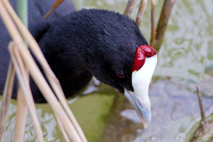 Animales en peligro de extinción en España - Focha Cornuda o Moruna (Fulica Cristata)
