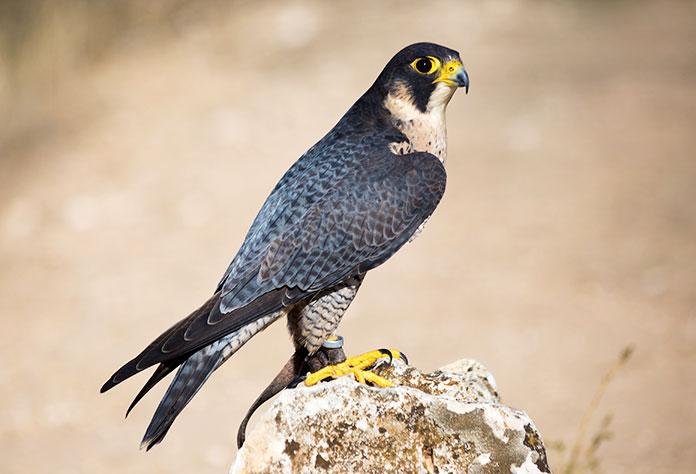 Animales en peligro de extinción en España - Halcón Tagarote (Falco Pelegrinoides)