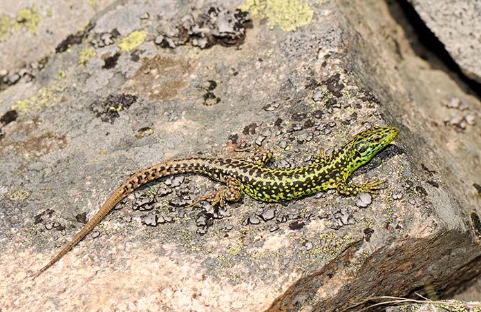Animales en peligro de extinción en España - Lagartija Batueca (Iberolacerta Martinezricai)