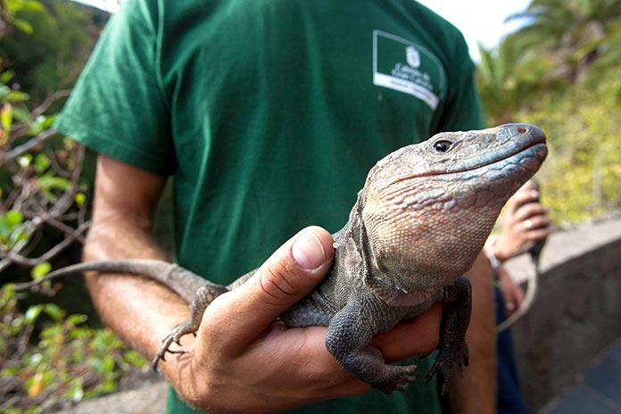 Animales en peligro de extinción en España - Lagarto Gigante de El Hierro (Gallotia Simonyi)