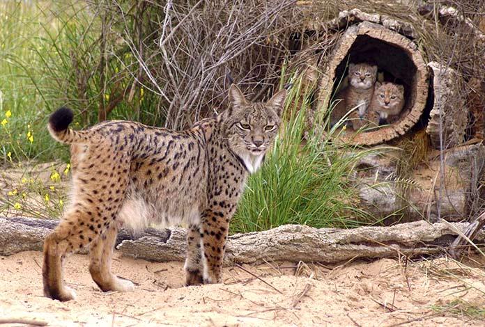 Animales en peligro de extinción en España - Lince Ibérico (Lynx Pardinus)