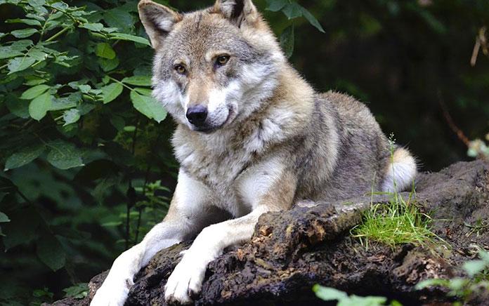 Animales en peligro de extinción en España - Lobo Ibérico (Canis Lupus Signatus)