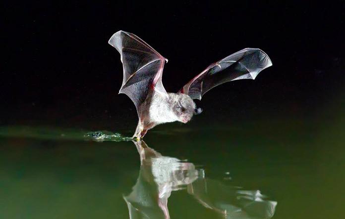 Animales en peligro de extinción en España - Murciélago Patudo (Myotis Capaccinii)