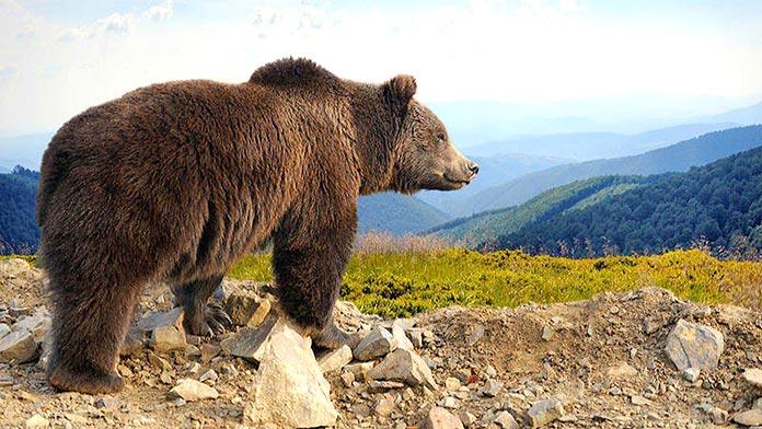 Animales en peligro de extinción en España - Oso Pardo Europeo (Ursus Arctos Arctos)