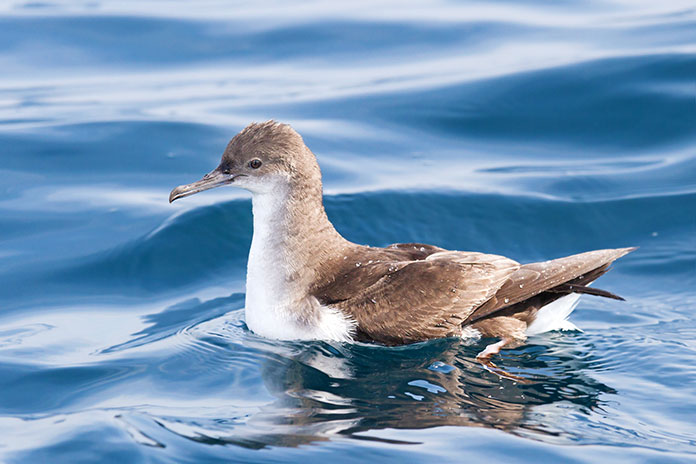 Especies en peligro de extinción en España - Pardela Balear (Puffinus Mauretanicus)