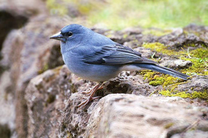 Especies en peligro de extinción en España - Pinzón Azul de Gran Canaria (Fringilla Polatzeki)