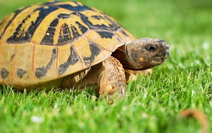 Especies en peligro de extinción en España - Tortuga Mediterránea (Testudo Hermanni)