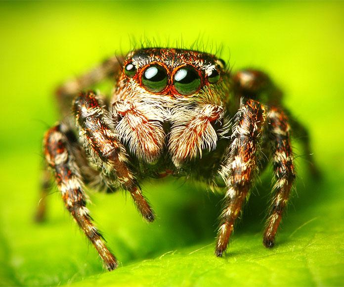 La araña del Himalaya, un depredador en la cima del mundo
