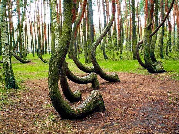 Los árboles curvos del Bosque del Baile