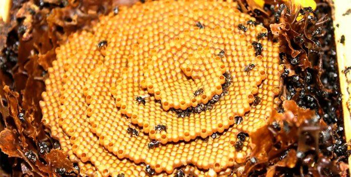 Estas abejas construyen misteriosas colmenas en forma de espiral.