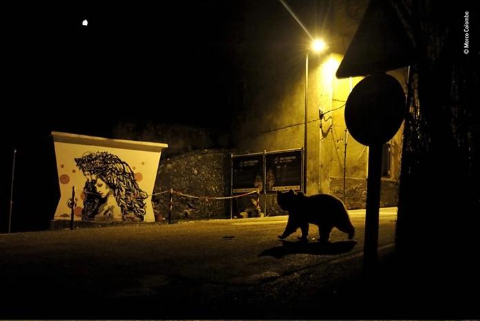 Gato nocturno