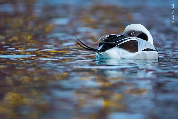 Patos nadando en soledad