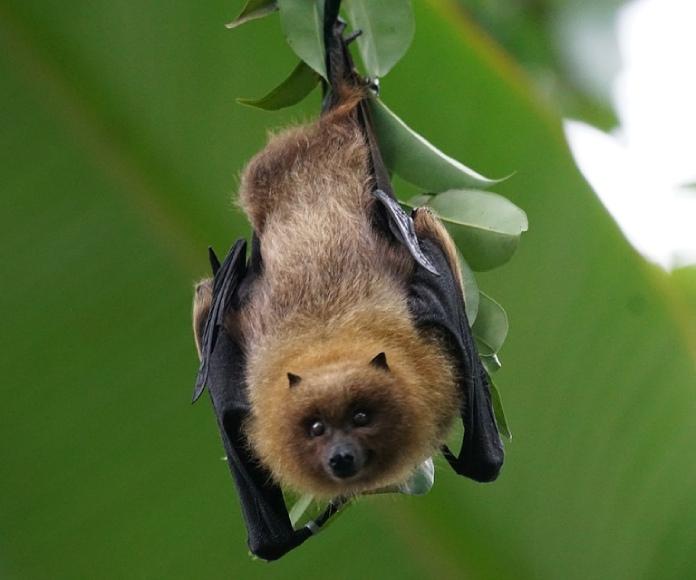 Descubren que los murciélagos tienen diversos acentos, como los humanos