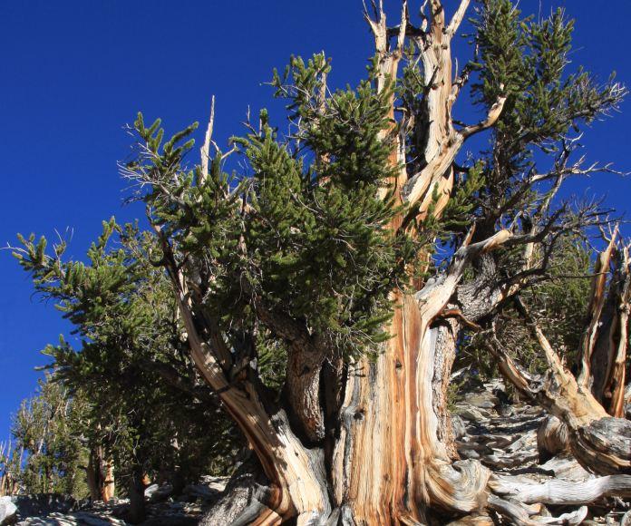 El secreto mejor guardado de EE.UU. es un árbol de más de 5.000 años
