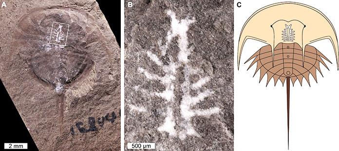 Fosil cangrejo herradura