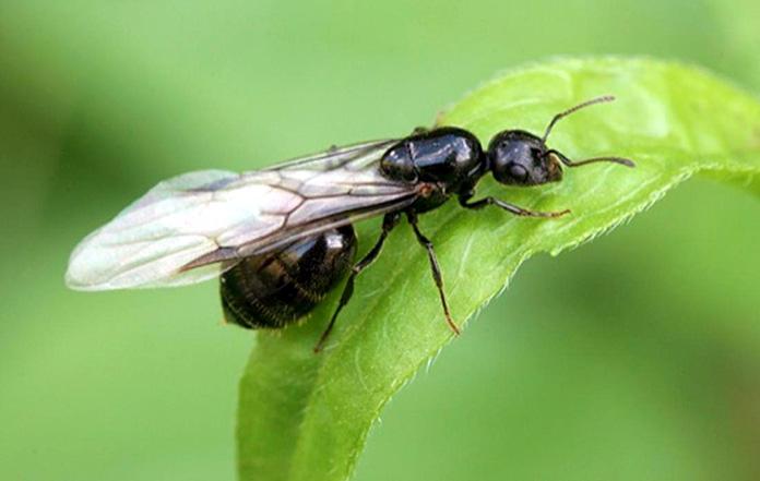 Hormiga reina - Las alas y el vuelo nupcial