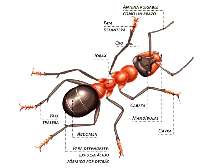 Hormiga reina - Anatomía de una hormiga reina