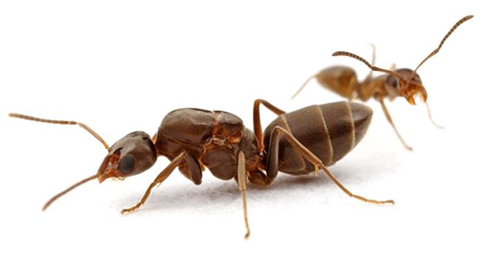 Hormiga reina con su cría