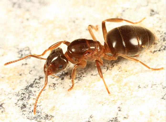 Hormiga reina - Hormiga Amarilla de Prado - Lasius Flavus