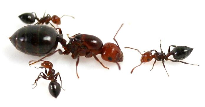 Hormiga reina -  Hormiga de Alcornoque – Crematogaster Scutellaris