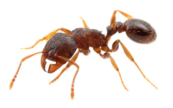 Hormiga reina - Hormiga de Pavimento - Tetramorium Caespitum