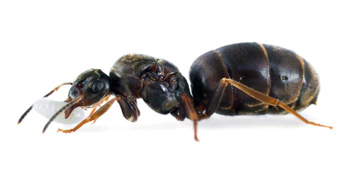 Hormiga reina - Hormiga Negra de Jardín - Lasius Niger