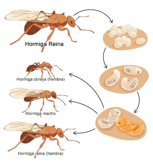 Hormiga reina - Proceso de reproducción de las hormigas