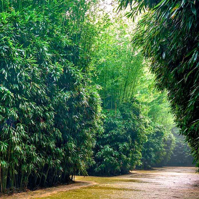 Pasadizos de bambú del Labirinto della Masone