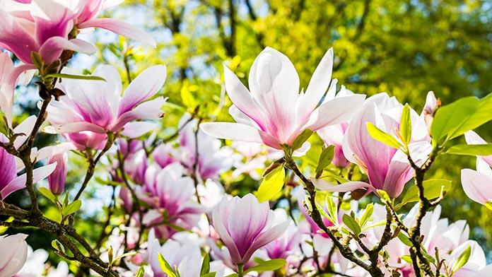 Incienso de magnolia