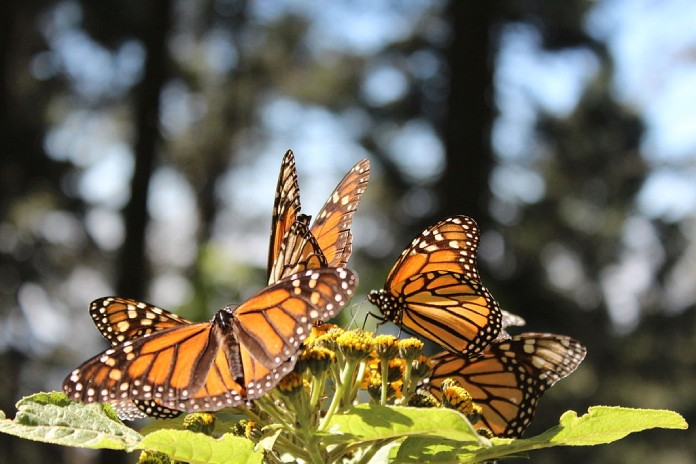 Mexico+Santuario-Mariposa-Monarca