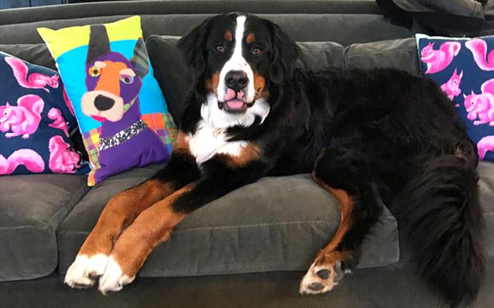 Un Boyero de Berna sentado en el sofá