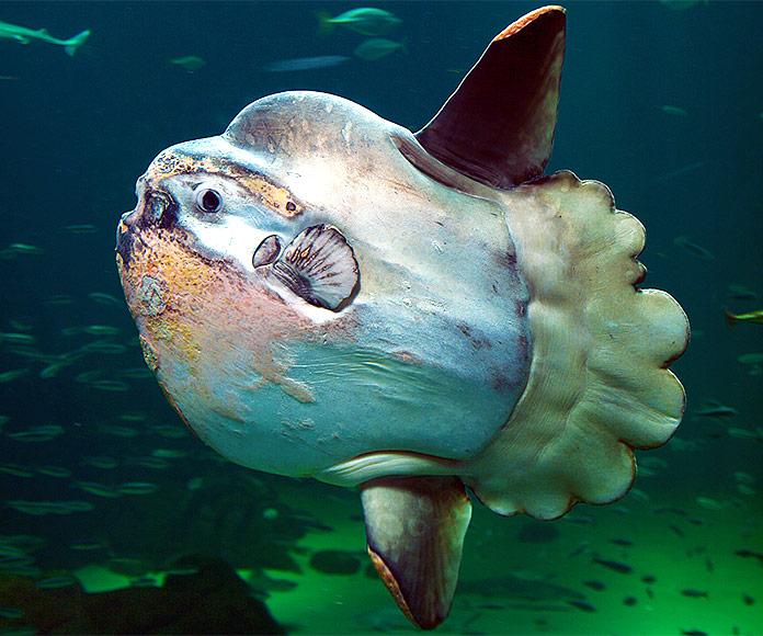 El pez luna: un gigante del mar que casi no tiene vértebras