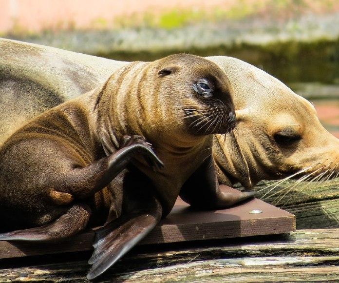 Primera cirugía a una loba marina con hidrocefalia