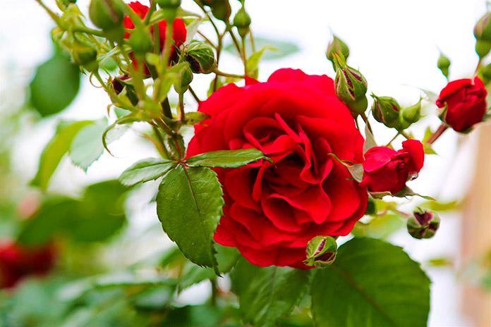 Incienso de rosas