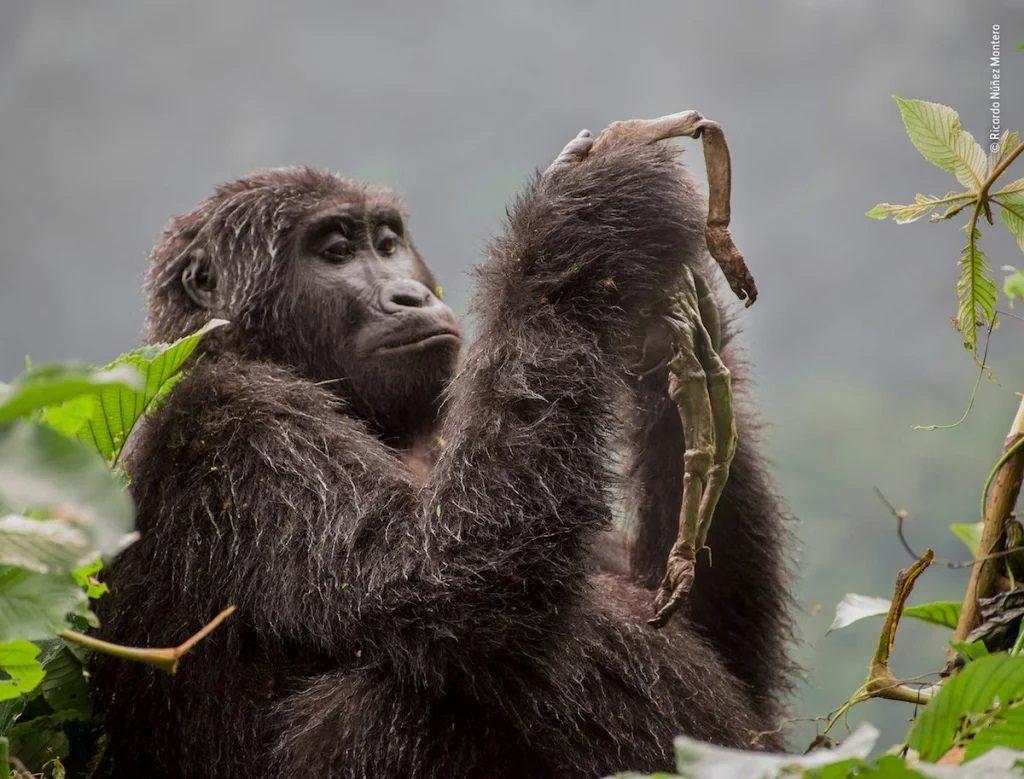 Gorila trsite