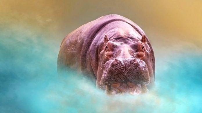 Sudor de hipopótamo: verdades y mentiras sobre el misterioso sudor de sangre