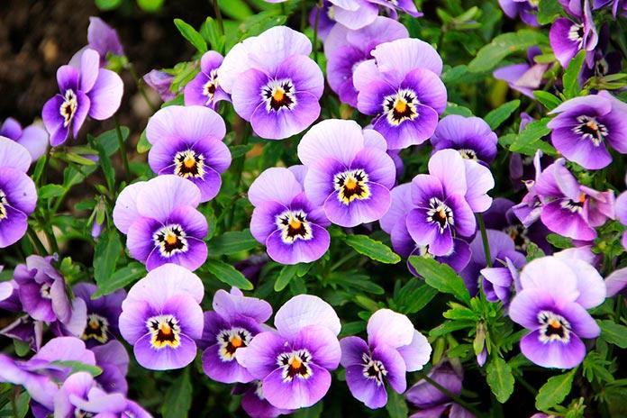 Incienso de violeta