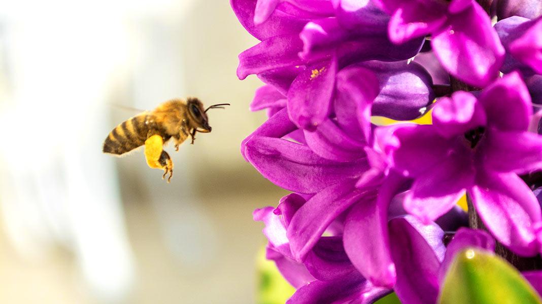 ¿Por qué las abejas se están beneficiando del Covid-19?