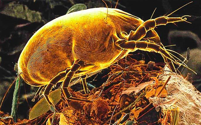 Ácaro Paratarsotomus macropalpis