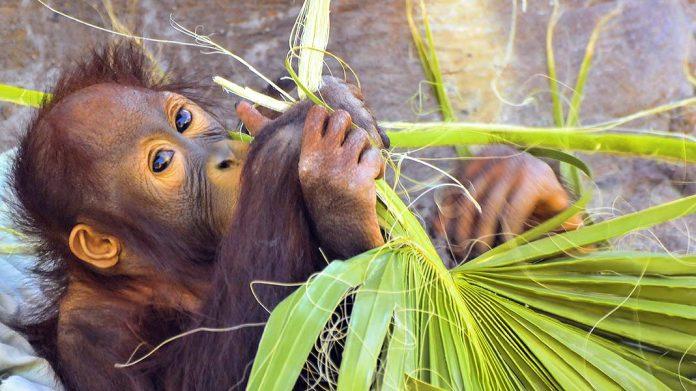 ¿Qué es el aceite de palma sostenible?