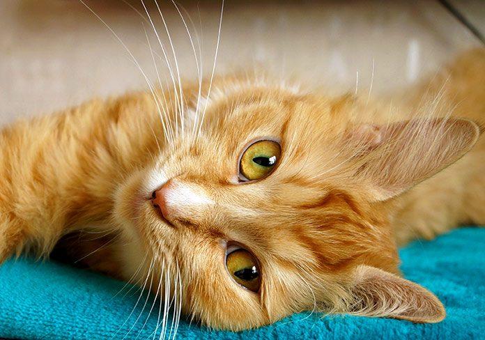 Agresión inducida por caricias: por qué tu gato te muerde cuando le mimas