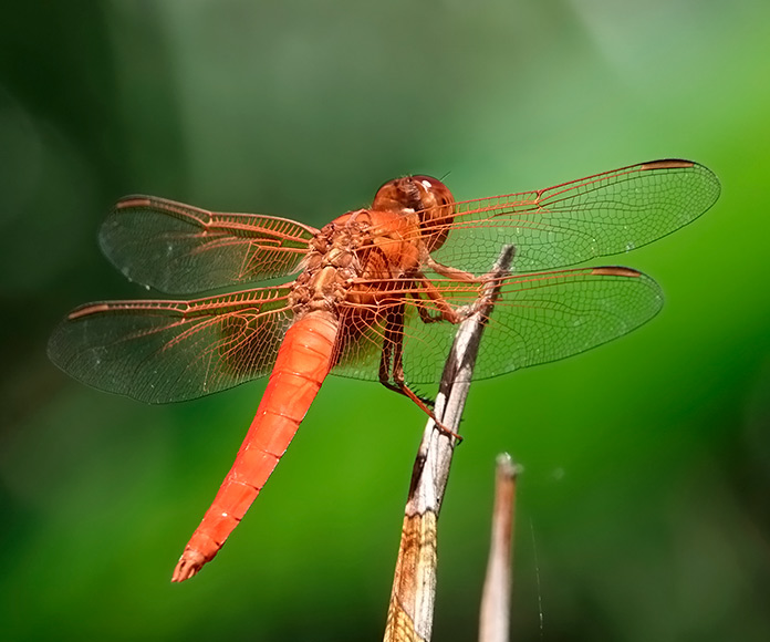 libélula macho con las alas extendidas