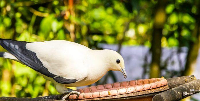 La salud de las aves urbanas es peor que las del campo.