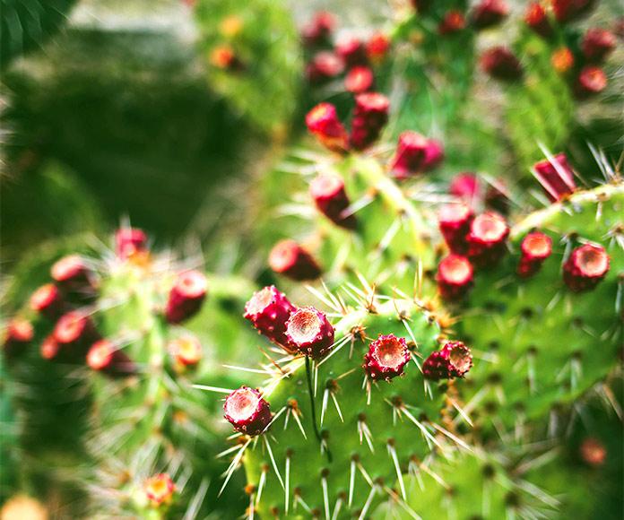 Datos que no conocías acerca del cactus Opuntia ficus-indica