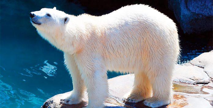 El calentamiento global acaba con los osos polares.